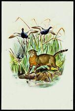 JUNGLE CAT (Felis chaus), Monograph of the Felidae, by Daniel Giraud Elliot