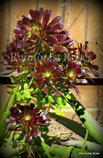 1 Aeonium red/green cutting Cactus Succulents plants Black Rose cactus cyclops