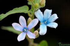 Oxypetalum coeruleum, syn. Tweedia caerulea - 20 seeds, blue milkweed