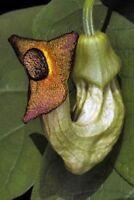 Aristolochia manshuriensis VERY RARE Vine  25 seeds