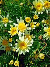 Argyranthemum lemon yellow (Daisy) in 50mm forestry tubes perennial plant