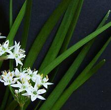 Ciboule de Chine - 300 graines [.. légère aromatisée feuilles, bourgeons fleurs et fleurs! ]