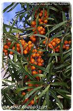 """Hippophae rhamnoides 'argousier"""" 45+ graines"""