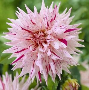 (4) Giant Flowering Mixed Dahlia Roots Spectacular Cut Flowers,New Flower Bulbs