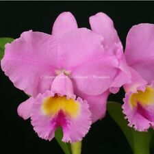 Standard Cattleya ~ Blc. Spring Dawn 'Top Row' ~ Extremely Fragrant ~ Lavender