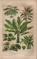 CHROMO-LITOGRAFICO 1902: foglio PIANTE. Aralia elegantissima Cordyline