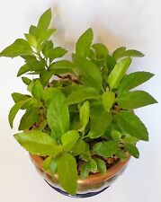 Gynura Procumbens Longevity Spinach 1 Starter plant 3 rooted cuttings per pot!