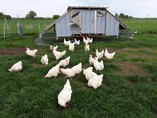 20 Bruteier Bresse Gauloise / Les Bleues Hühner Eier