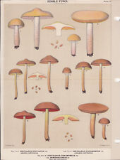 MUSHROOM PRINT. Edible Fungi Of New York. Circa 1900 ~Cortinarius Collinitus~