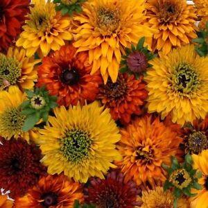 NEW!  30+ RUDBECKIA MOROCCAN SUN FLOWER SEEDS MIX