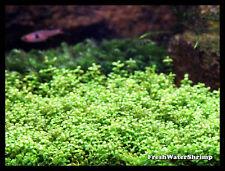 Live plantes d'aquarium/Hemianthus Callitrichoides Cuba/HC Cuba