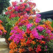 1 Pack 100 Mixed Color Bougainvillea Bonsai Flower Plant Seeds Home Garden S092