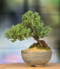 Bonsai Tree Japanese Setku Bowl Indoor Live Plant Home Houseplant Best Gift Yard