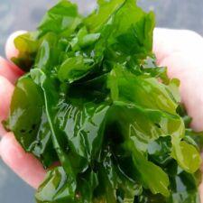 More details for refugium easier to grow than chaeto: ulva sea lettuce easy turbo macro algae