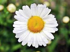 NATURE PLANT FLOWER DAISY BEAUTIFUL WHITE YELLOW POSTER ART PRINT BB1593A