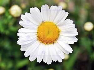 NATURE PLANT FLOWER DAISY BEAUTIFUL WHITE YELLOW POSTER ART PRINT BB1593A