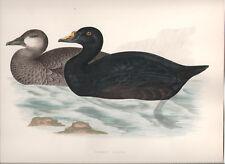 1855 Bird original print Common Scoter Beverley R. Morris