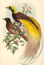 John Gould Reproductions: Bird of Paradise - Fine Art Print