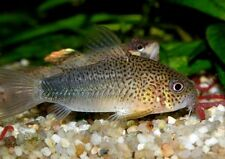 Smudge Spot Cory (Corydoras similis) 2.5CM PEACEFUL CATFISH