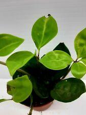 Peperomia Pereskifolia Live Tropical Vivarium Terrarium House Plant