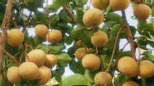 New Sandoricum koetjape 5 Seeds Santol Sentul Yellow Sentol Fruit Seeds.