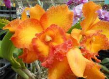Cattleya - Blc. Shinfong Luohyang 'Ten Mu Yellow' - Huge Mature Plant!