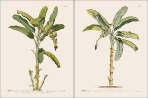 Set of 2 botanical prints 30x40cm Musa tropical palm banana