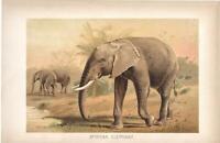 AFRICAN ELEPHANT Antique Vintage Lydekker COLOURED  LITHOGRAPH PRINT Pub.1895.