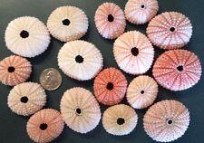 "Sea Urchins 1"" - 2"", Natural Shells Air Plants Beach Urchin, Pink Small"