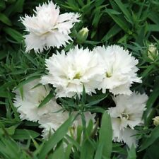 WHITE CLOVE PINKS Dianthus caryophyllus edible flowers plant in 100mm pot