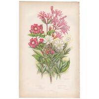 Anne Pratt antique 1st ed 1860 botanical print, Pl 39 Catchfly, Ragged Robin