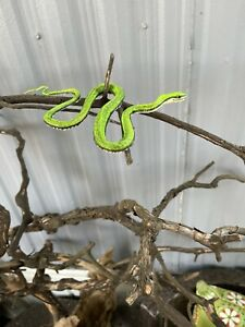 taxidemy mount mexican parrot snake related lizard reptile turtle
