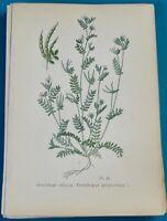 1893 Ancienne Lithographie Ornithope Pied d'Oiseau Gaston Bonnier Botanique