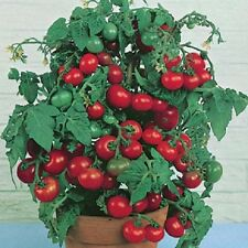 Tomato Tiny Tim EXTREMELY EARLY 20+ SEEDS Containers Bright Windowsills