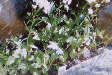 10 Semi Senape di Wasabi,Diplotaxis tenuifolia dei erucoides#485