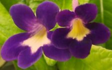 WENDY'S BABY OWL EYES Streptocarpus Plant - IN BLOOM!  6-6