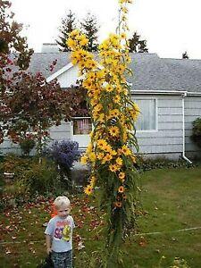 Giant Maximillian Sunflower Seeds - Perennial Sunflower - 200+ Seeds - USA Ship