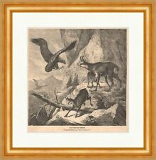 The prey of the Eagle Wood Engraving from Olivers Hammer Chamois Gams Wild Mountain P 0115