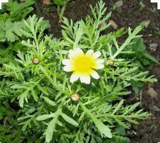 500 Shungiku - Edible Chrysanthemum-Medicinal -Non GMO-Open Pollinated.