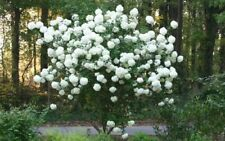 Chinese Snowball Bush - Live Plant - Shipped 1 to 2 Feet Tall