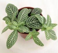 NERVE PLANT - WHITE - 1 live - Houseplant/ Office - GroCo Guaranteed Plants USA
