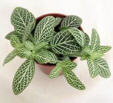NERVE PLANT - WHITE - 2 live PLANTS - Houseplant/ Office - GroCo Guaranteed USA