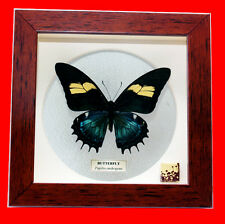 FRAMED PAPILIO ANDROGEUS (F) - RARE COLOR FORM