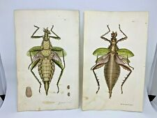Dilated Phasma - 1783 RARE SHAW & NODDER Hand Colored Copper Engraving