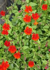 100 Twinkle Red Monkey Flower Mimulus Seeds + Gift & Comb S/H