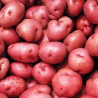 Seed Potatoes Desiree Main Crop 1kg Free Postage