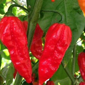 Super Hot Chilli Pepper, Red Bhut Jolokia, Ghost Chilli Viable Seeds - UK Stock