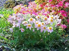 PASQUE FLOWER ALBA - Pulsatilla vulgaris - 70 seeds - PERENNIAL ALPINE FLOWER