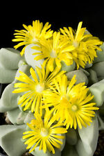 Garten Balkon Samen exotische Pflanze Kaktee Zierpflanze BIJLIA-KAKTEE