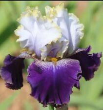 "1 Tall Bearded Iris ""SLOVAK PRINCE"" - Fragrant - Large Rhizome, size #1"
